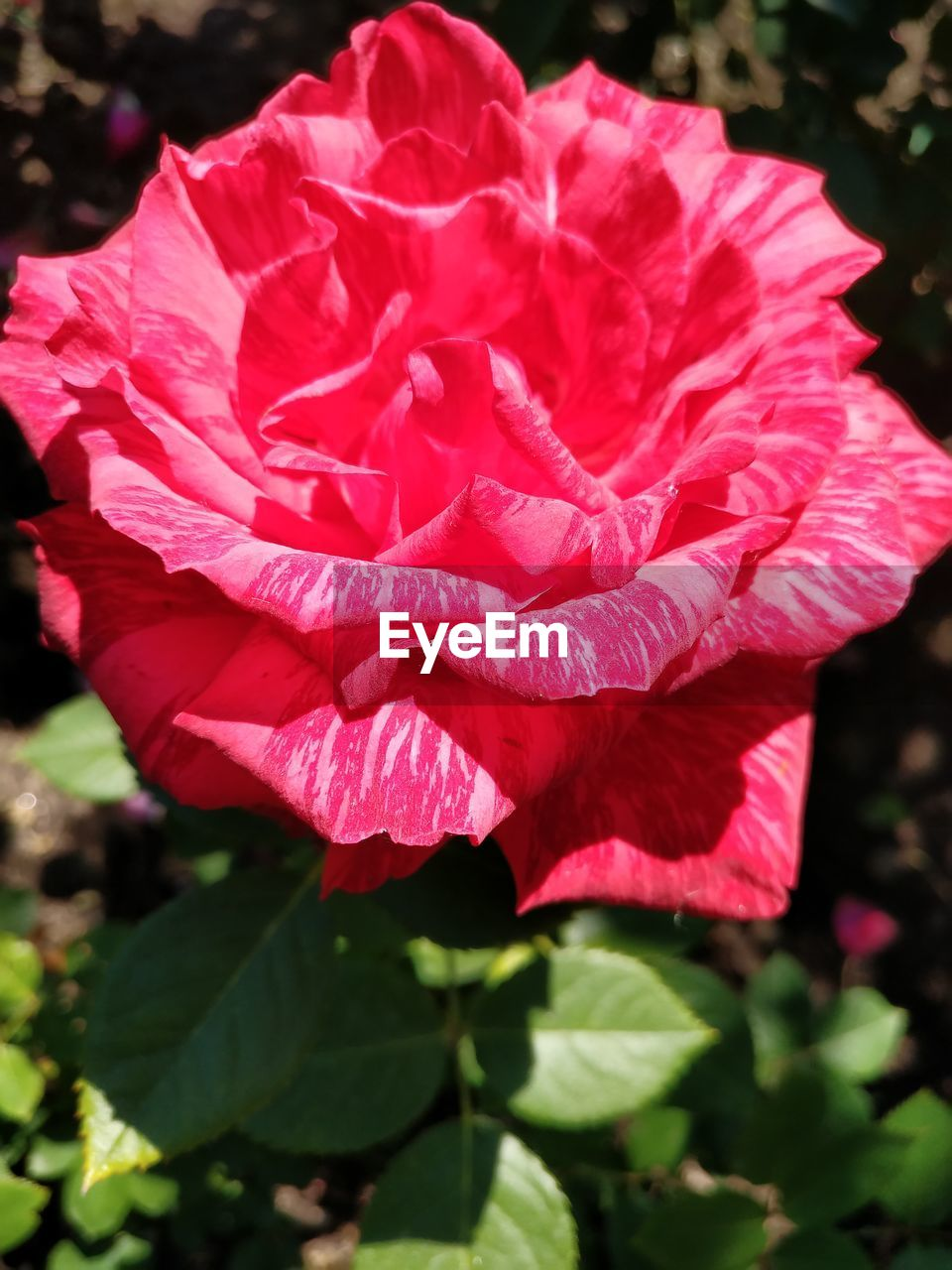 flower, petal, nature, beauty in nature, fragility, flower head, rose - flower, plant, freshness, growth, leaf, close-up, day, no people, outdoors, blooming, pink color, red