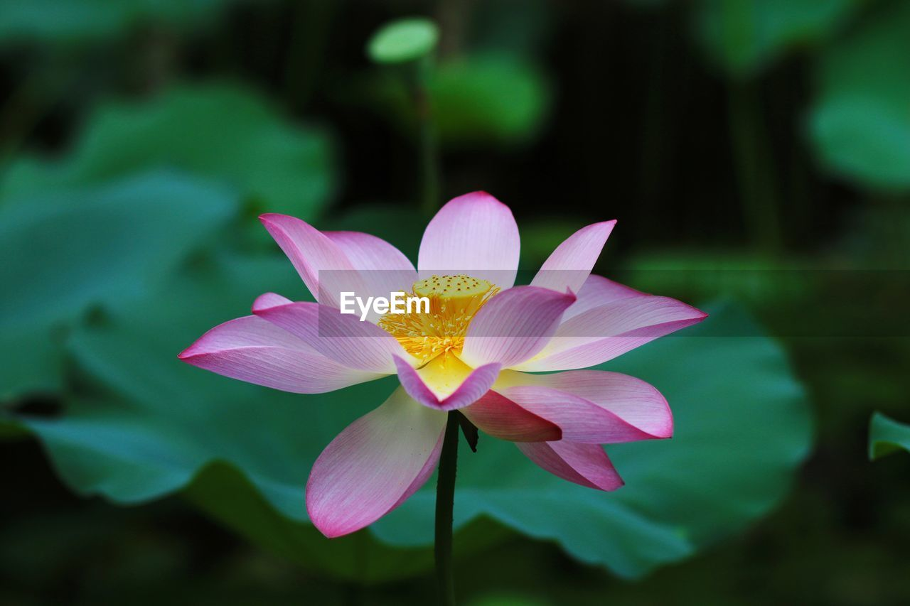flowering plant, flower, petal, freshness, vulnerability, plant, beauty in nature, inflorescence, fragility, flower head, close-up, water lily, growth, pink color, lotus water lily, nature, leaf, pollen, focus on foreground, no people, pond, purple