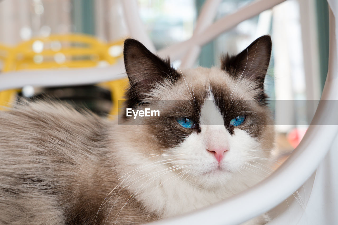 domestic, pets, domestic animals, cat, domestic cat, mammal, feline, animal themes, animal, one animal, vertebrate, portrait, focus on foreground, no people, close-up, animal body part, indoors, whisker, looking at camera, eye, animal head, animal eye
