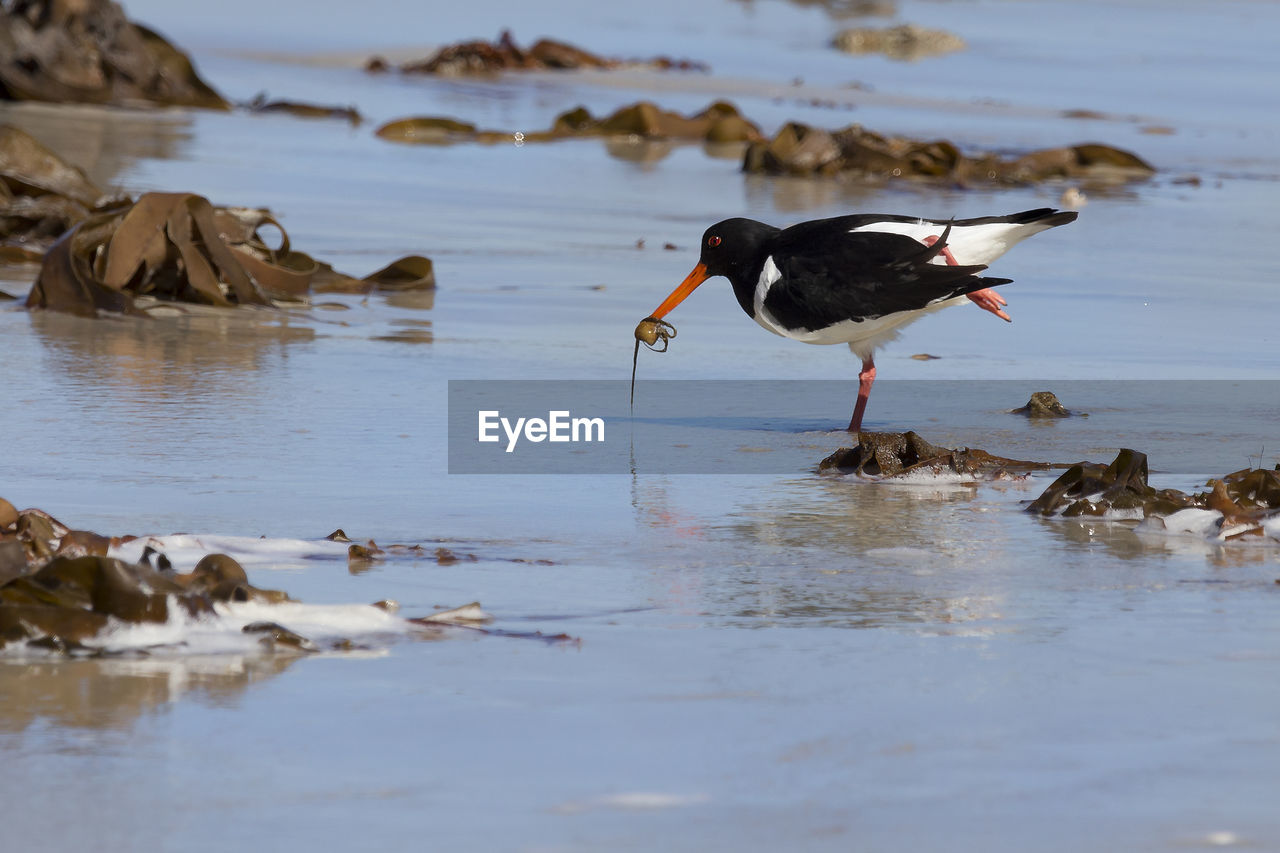 animal themes, animal, animal wildlife, vertebrate, animals in the wild, water, bird, one animal, day, beach, no people, reflection, nature, selective focus, sea, land, hunting, outdoors