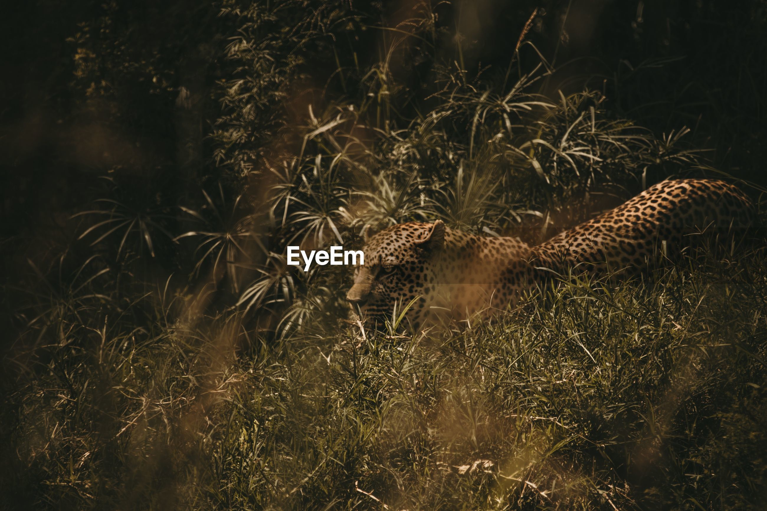 High angle view of leopard amidst grass on land