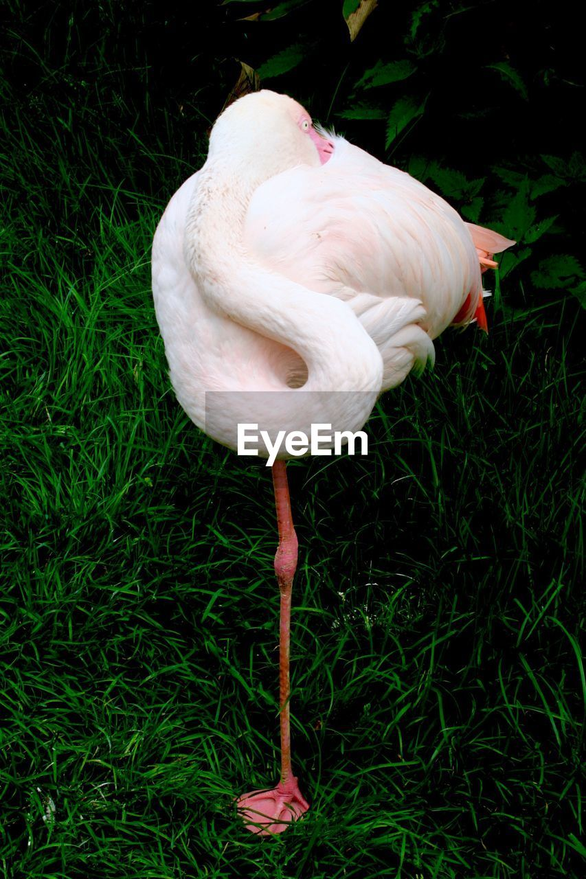 Close-Up Of Flamingo Standing On Grass