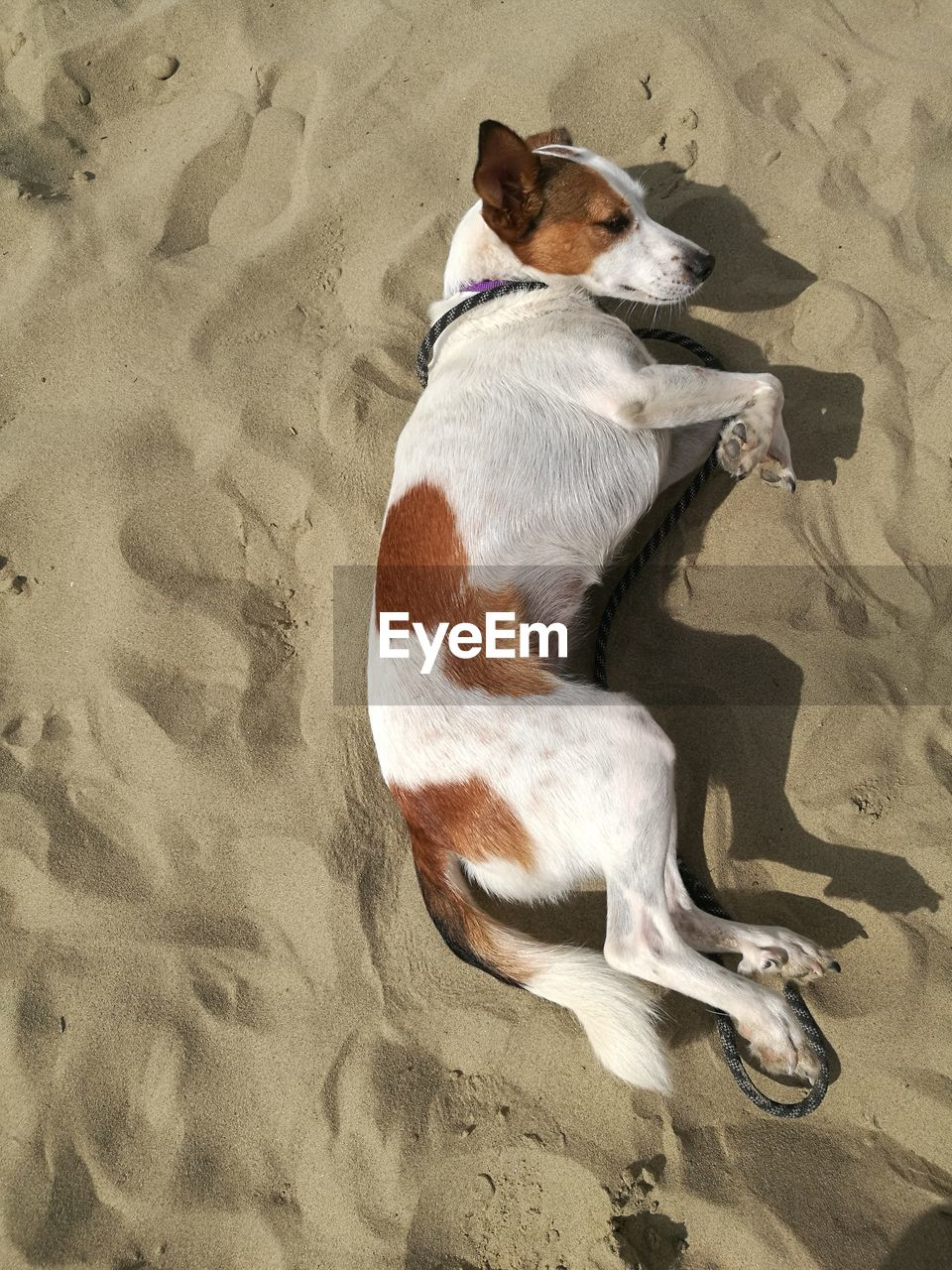 domestic, mammal, pets, one animal, domestic animals, animal themes, animal, canine, dog, sand, vertebrate, high angle view, beach, land, relaxation, no people, day, full length, lying down, flooring, jack russell terrier