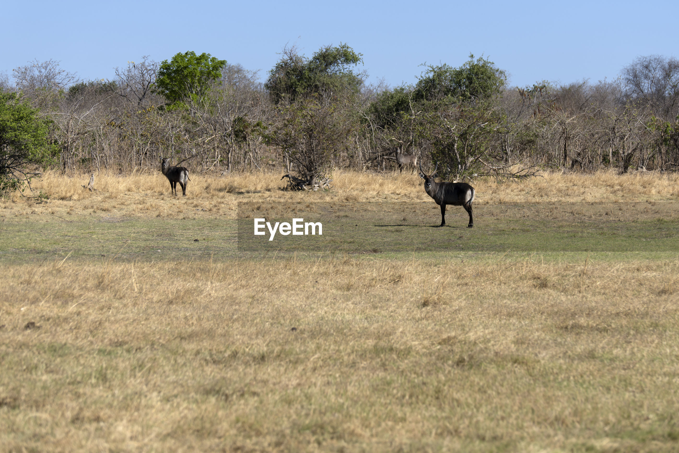 View of a waterbuck on field
