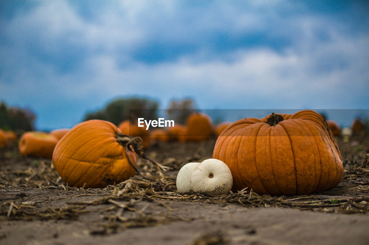 Close-up of pumpkins on field against cloudy sky