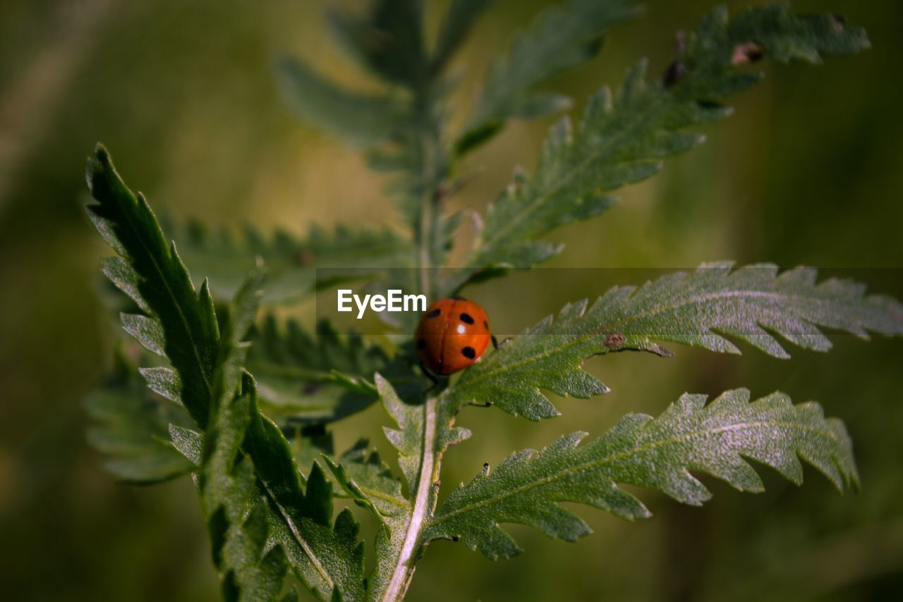 ladybug, beetle, invertebrate, insect, animal, animal themes, plant, animal wildlife, animals in the wild, one animal, close-up, plant part, nature, leaf, red, selective focus, day, no people, spotted, growth, outdoors, small