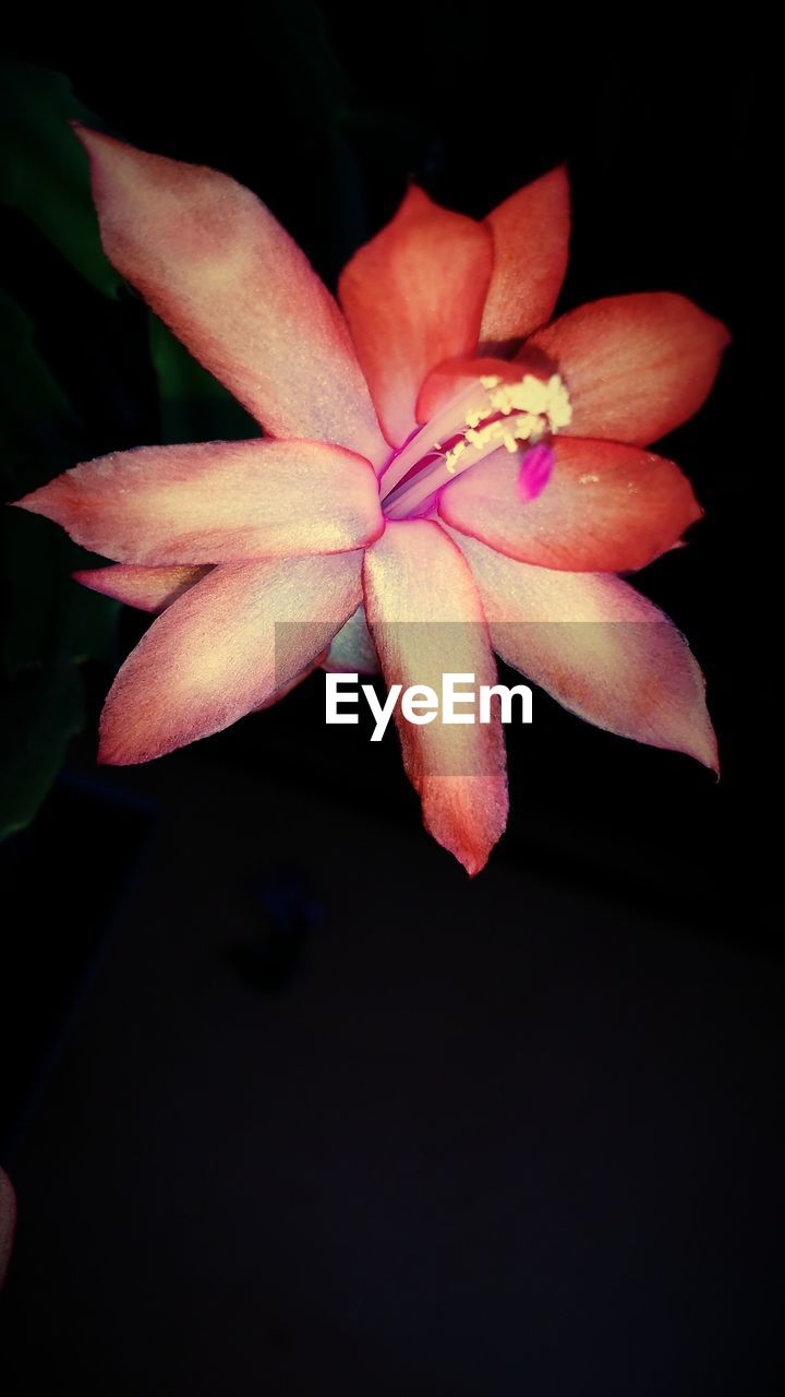 flower, petal, flower head, beauty in nature, fragility, black background, nature, close-up, growth, pink color, studio shot, freshness, night, blooming, no people, frangipani, outdoors