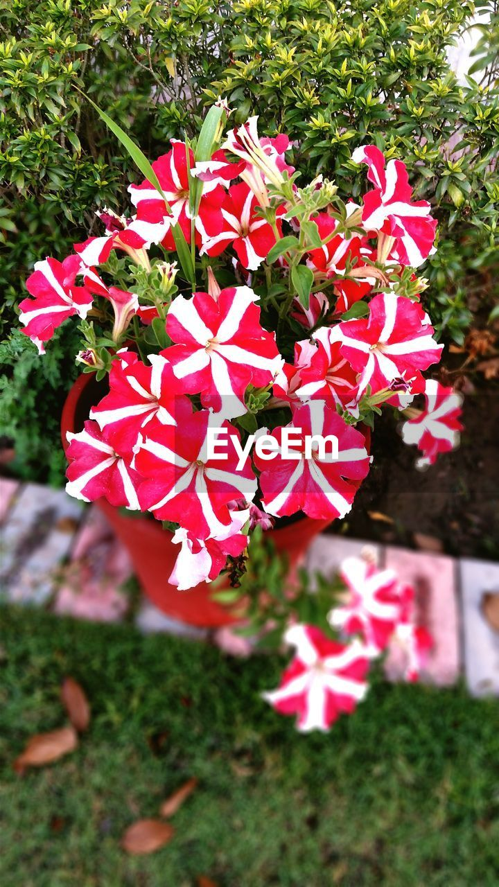growth, petal, day, flower, nature, no people, beauty in nature, blooming, pink color, outdoors, field, red, fragility, plant, flower head, freshness, close-up, periwinkle