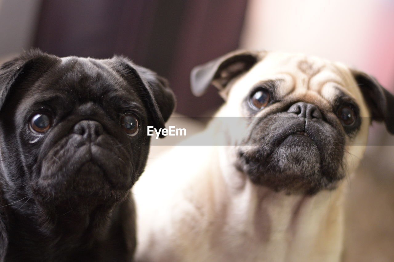 canine, mammal, dog, pets, domestic, animal themes, animal, domestic animals, one animal, pug, lap dog, portrait, vertebrate, indoors, small, looking at camera, close-up, focus on foreground, no people, animal head, animal eye