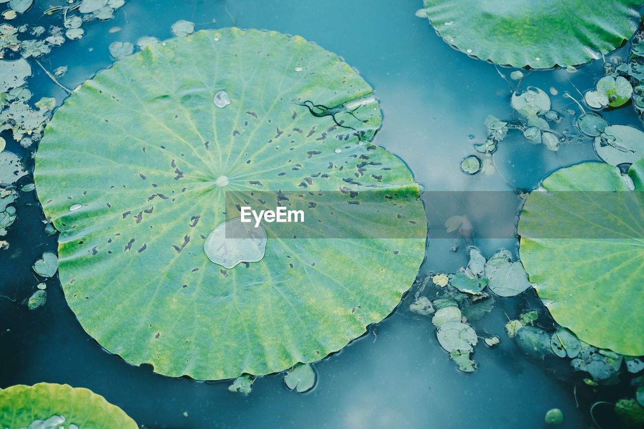 leaf, plant part, water, floating, lake, plant, floating on water, water lily, nature, green color, beauty in nature, growth, no people, high angle view, flower, day, lily, close-up, leaves, outdoors, lotus water lily