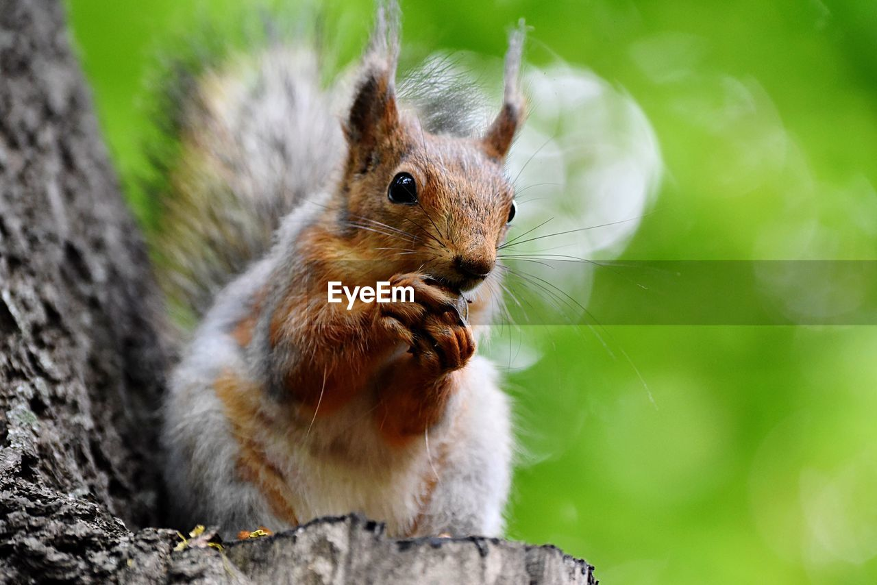animal themes, animal, animal wildlife, rodent, one animal, mammal, animals in the wild, focus on foreground, close-up, squirrel, no people, day, nature, vertebrate, tree, outdoors, whisker, land, plant, looking at camera