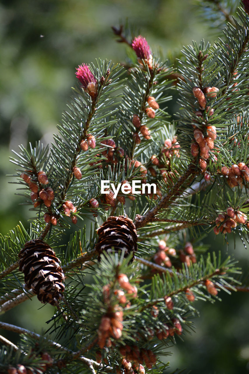 CLOSE-UP OF PINE CONES ON BRANCH