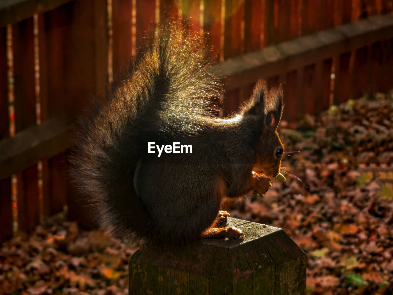 mammal, vertebrate, one animal, focus on foreground, no people, animal wildlife, nature, close-up, sitting, animals in the wild, eating, outdoors, day, looking, side view, solid, pets
