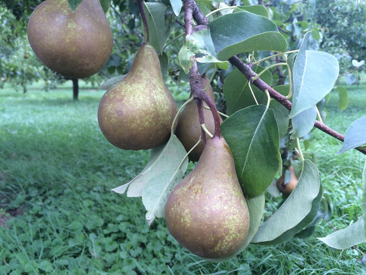 Close-up of pears growing on tree