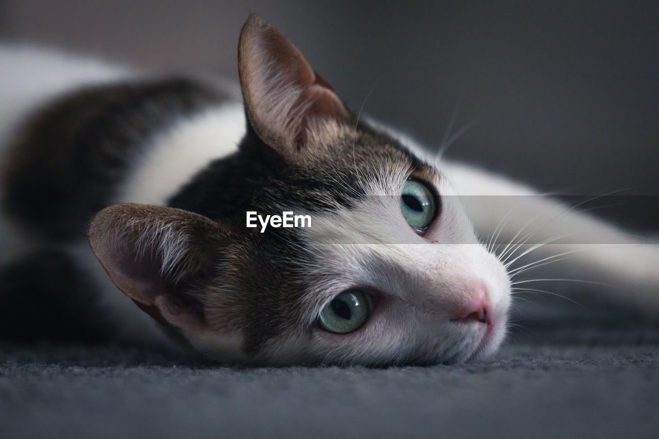 mammal, pets, domestic, animal, animal themes, domestic animals, one animal, cat, vertebrate, domestic cat, feline, close-up, animal body part, no people, indoors, selective focus, relaxation, portrait, eye, looking at camera, whisker, animal head, animal eye