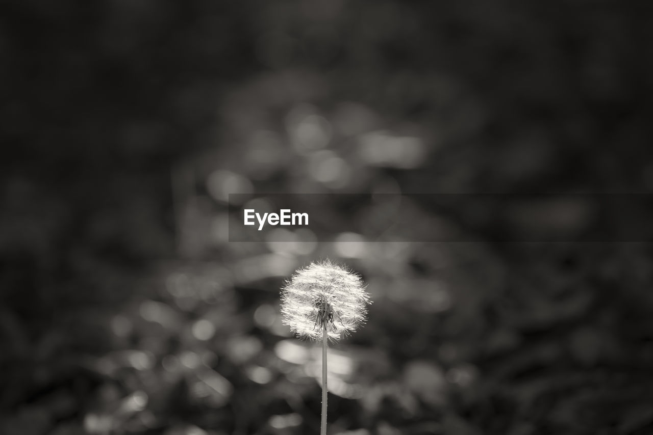 plant, dandelion, nature, beauty in nature, flower, fragility, vulnerability, close-up, freshness, no people, growth, flowering plant, focus on foreground, day, inflorescence, flower head, outdoors, dandelion seed, sky, softness