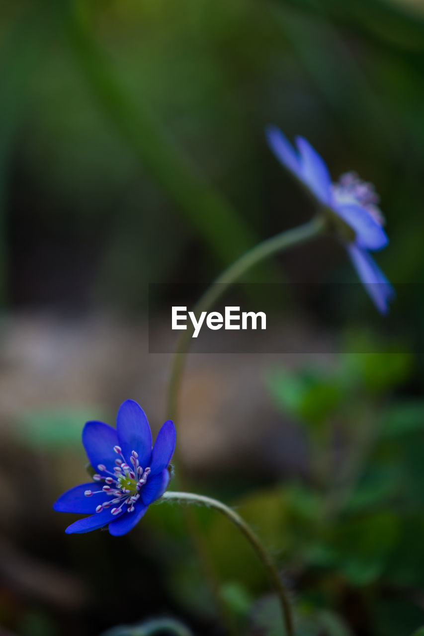 flowering plant, flower, plant, fragility, vulnerability, freshness, beauty in nature, petal, purple, growth, close-up, inflorescence, flower head, nature, no people, focus on foreground, day, blue, selective focus, botany, outdoors