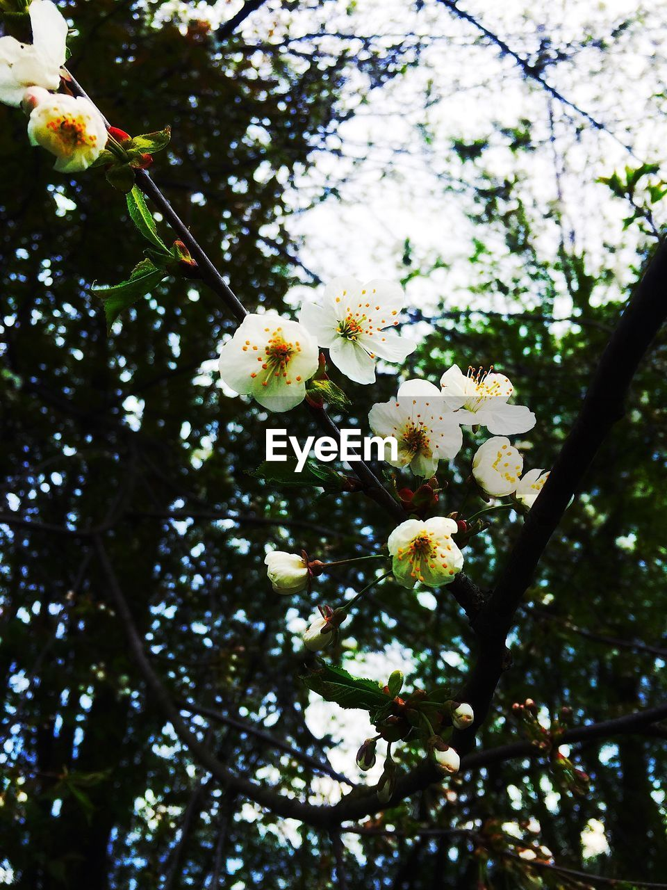 flower, tree, fragility, blossom, growth, freshness, beauty in nature, springtime, white color, apple blossom, nature, branch, apple tree, botany, orchard, low angle view, petal, no people, twig, day, close-up, flower head, outdoors, stamen, blooming