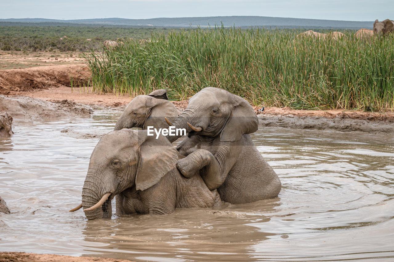 ELEPHANT IN LAKE