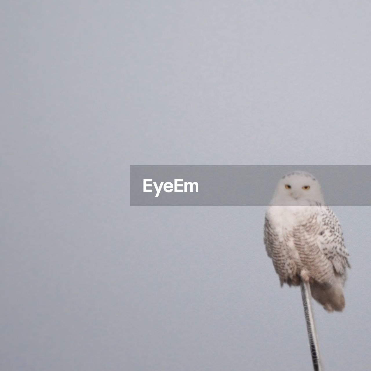 Snowy Owl perched on branch against sky