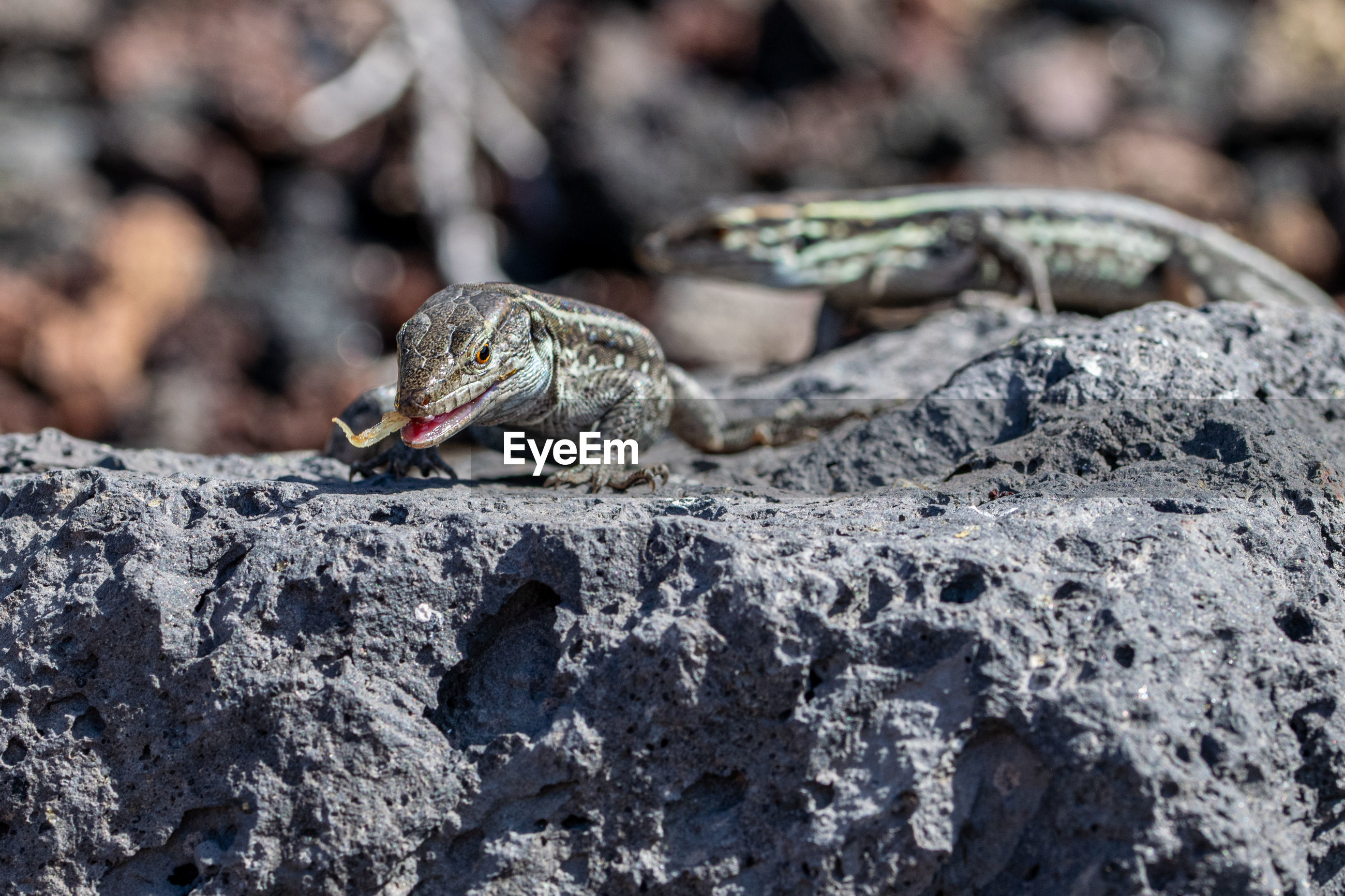 La palma wall lizards, gallotia galloti palmae, eating discarded banana on volcanic rock.