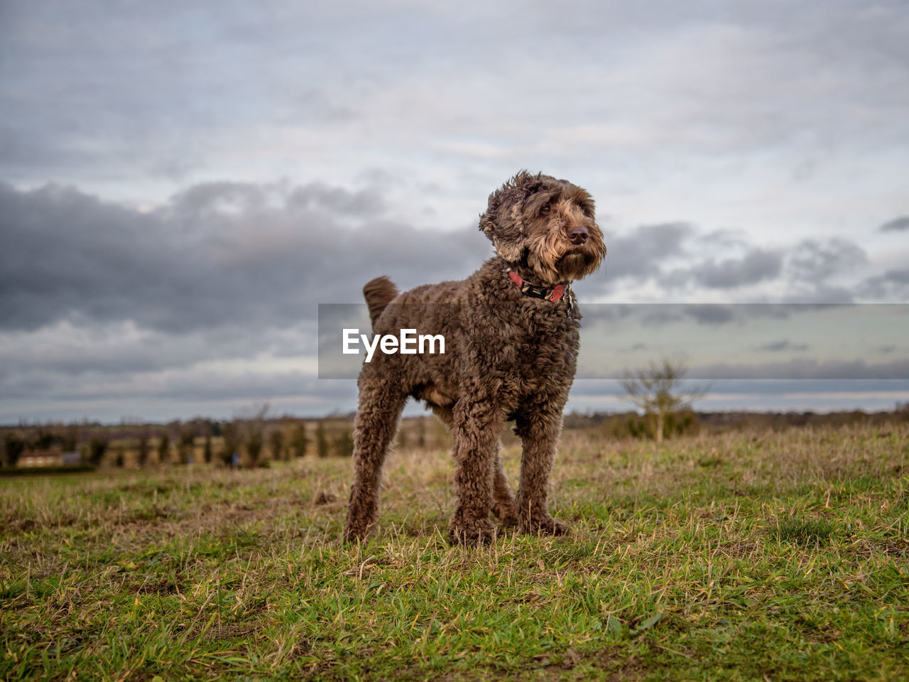 animal themes, animal, mammal, one animal, domestic animals, domestic, pets, cloud - sky, grass, dog, canine, land, vertebrate, sky, field, standing, nature, no people, plant, environment, outdoors