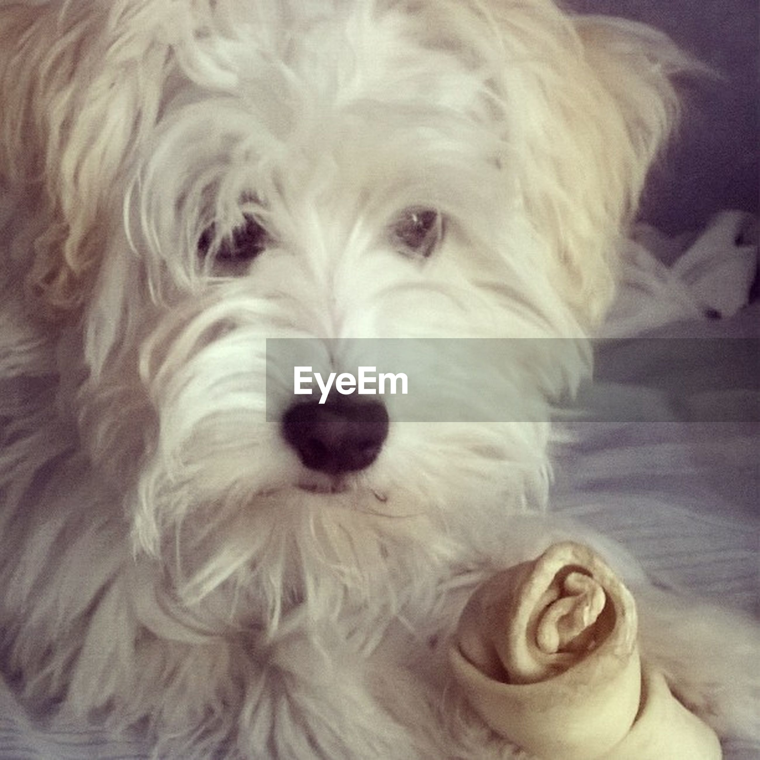 dog, indoors, pets, domestic animals, one animal, animal themes, mammal, close-up, animal hair, portrait, white color, looking at camera, home interior, animal head, cute, no people, relaxation, bed, home, puppy
