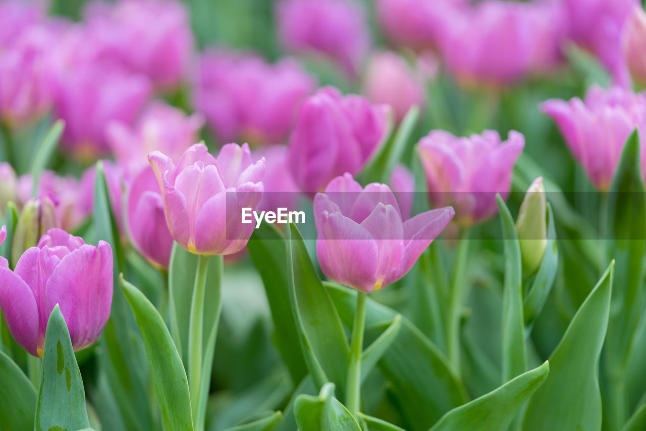 Close-up of pink tulips booming in garden