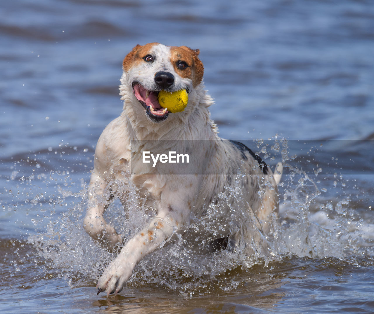 dog, one animal, canine, water, motion, mammal, animal, animal themes, pets, splashing, domestic, running, domestic animals, vertebrate, ball, carrying in mouth, waterfront, day, nature, outdoors, no people