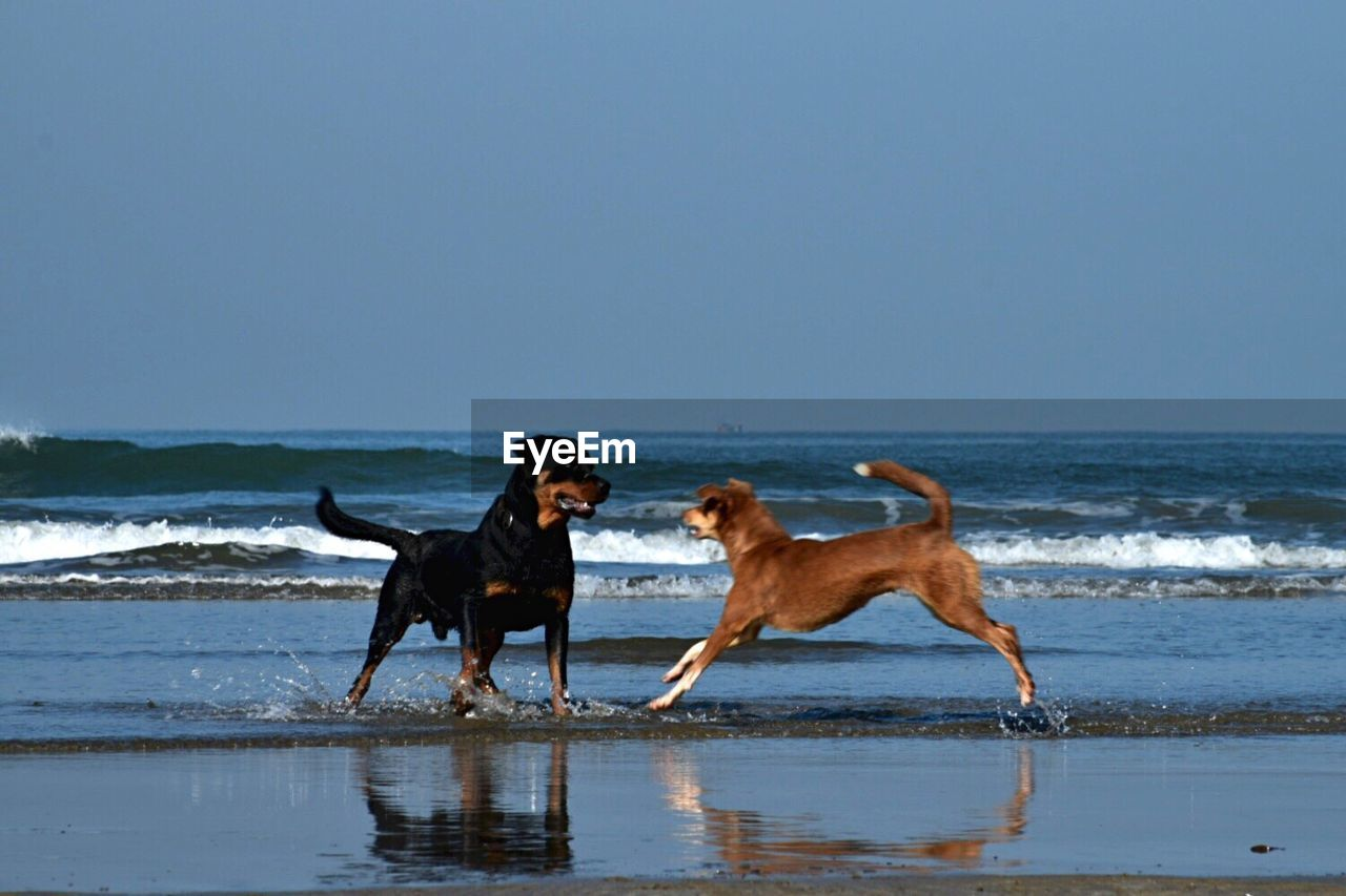 dog, pets, beach, sea, animal, one animal, outdoors, animal themes, labrador retriever, full length, sand, domestic animals, day, mammal, wave, sky, one man only, adult, retriever, nature, only men, people, one person, horizon over water, adults only