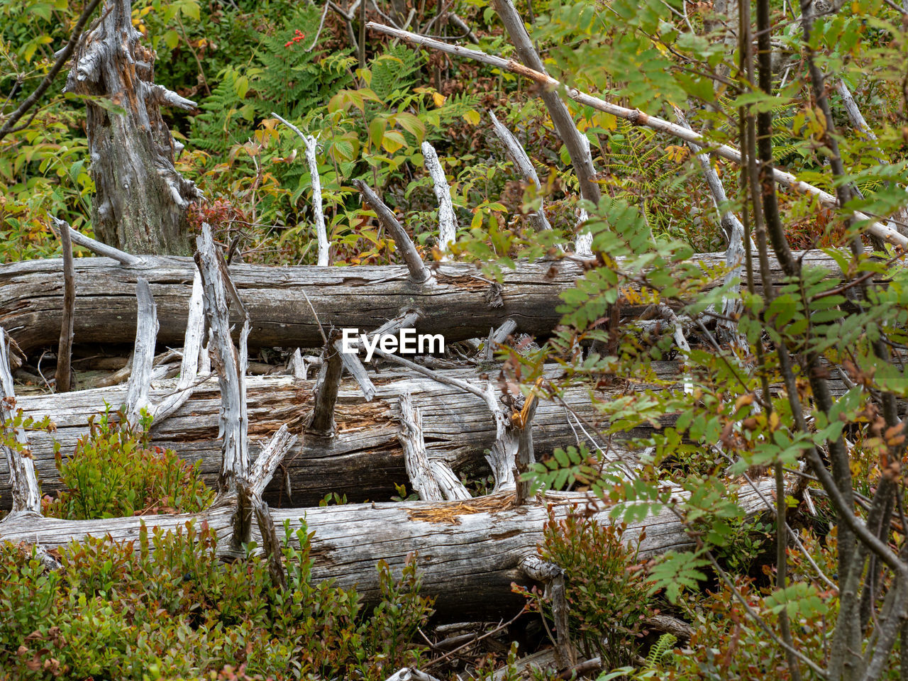 tree, plant, forest, nature, land, tranquility, day, wood - material, no people, growth, tree trunk, wood, trunk, root, water, log, outdoors, beauty in nature, timber, woodland, dead plant, driftwood