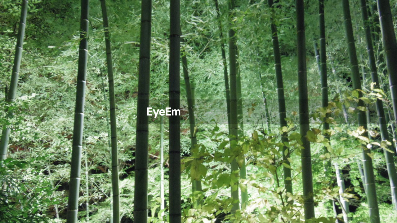 forest, nature, bamboo - plant, green color, bamboo grove, beauty in nature, no people, day, tree, tranquility, growth, outdoors, freshness