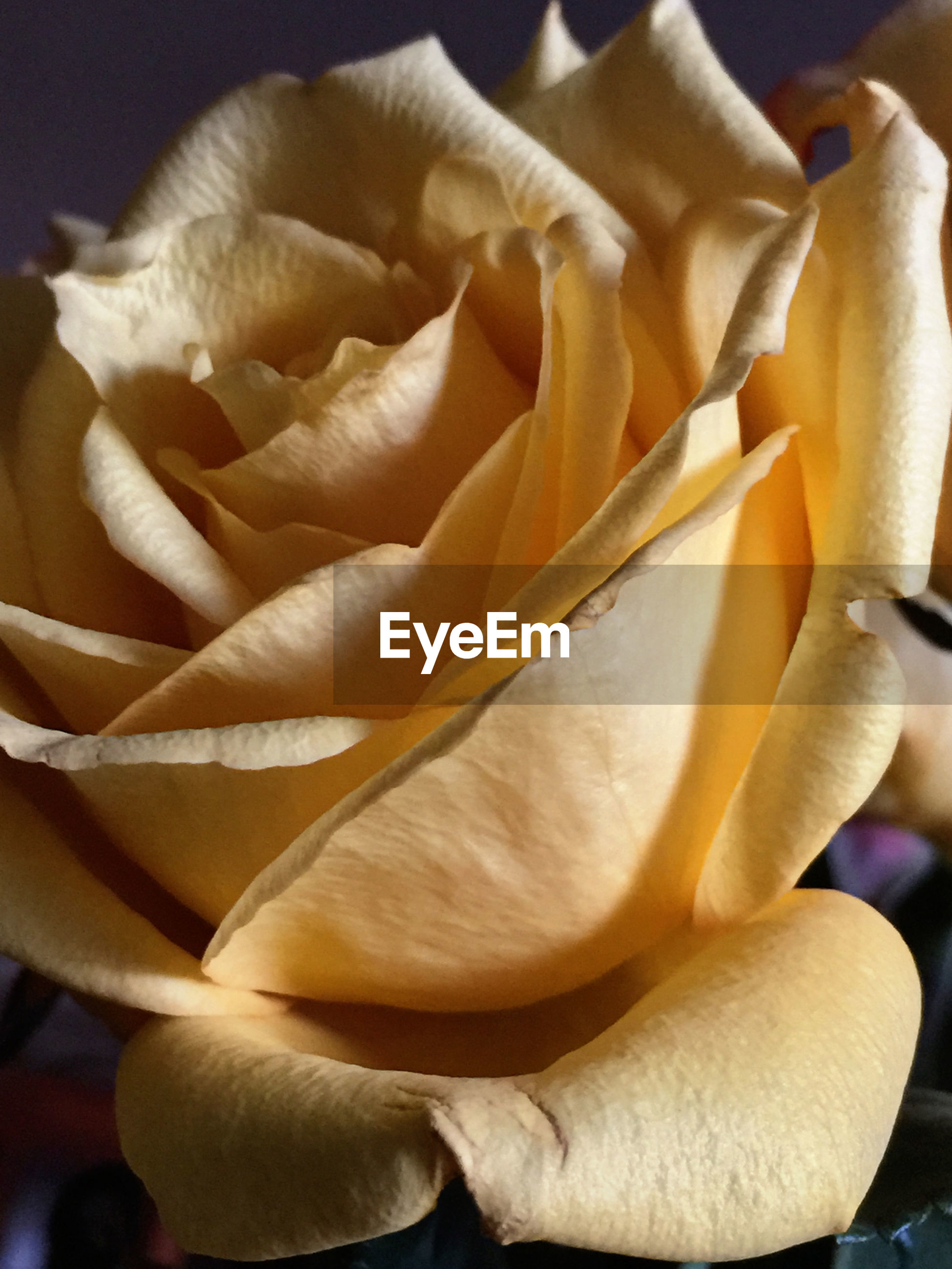 Close-up of yellow rose over colored background