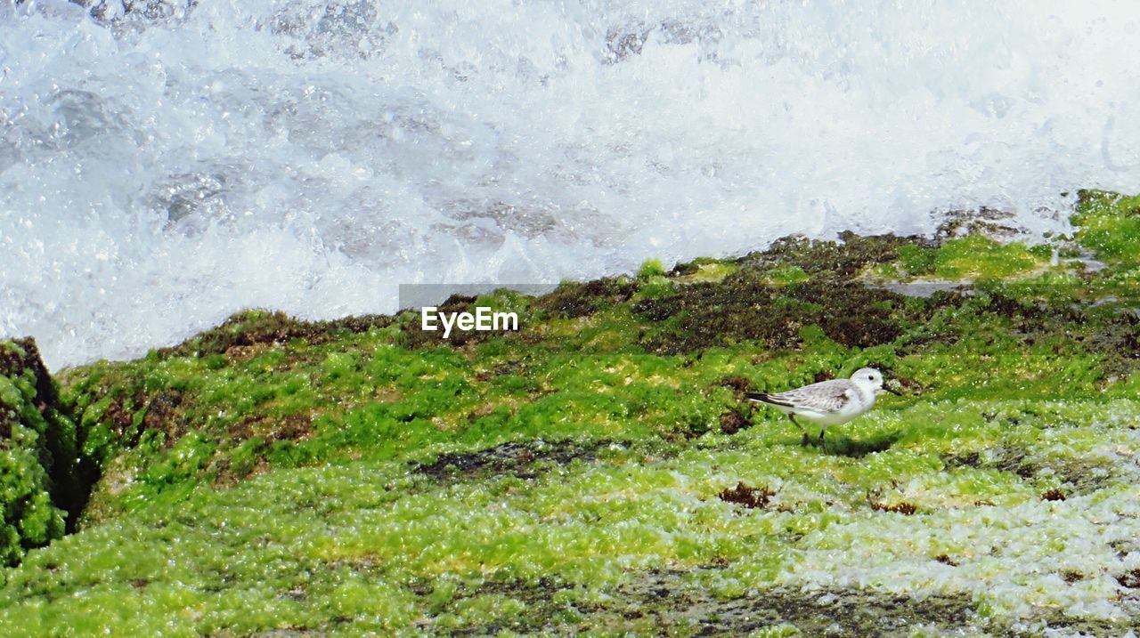 High angle view of seagull on moss covered cliff against sea