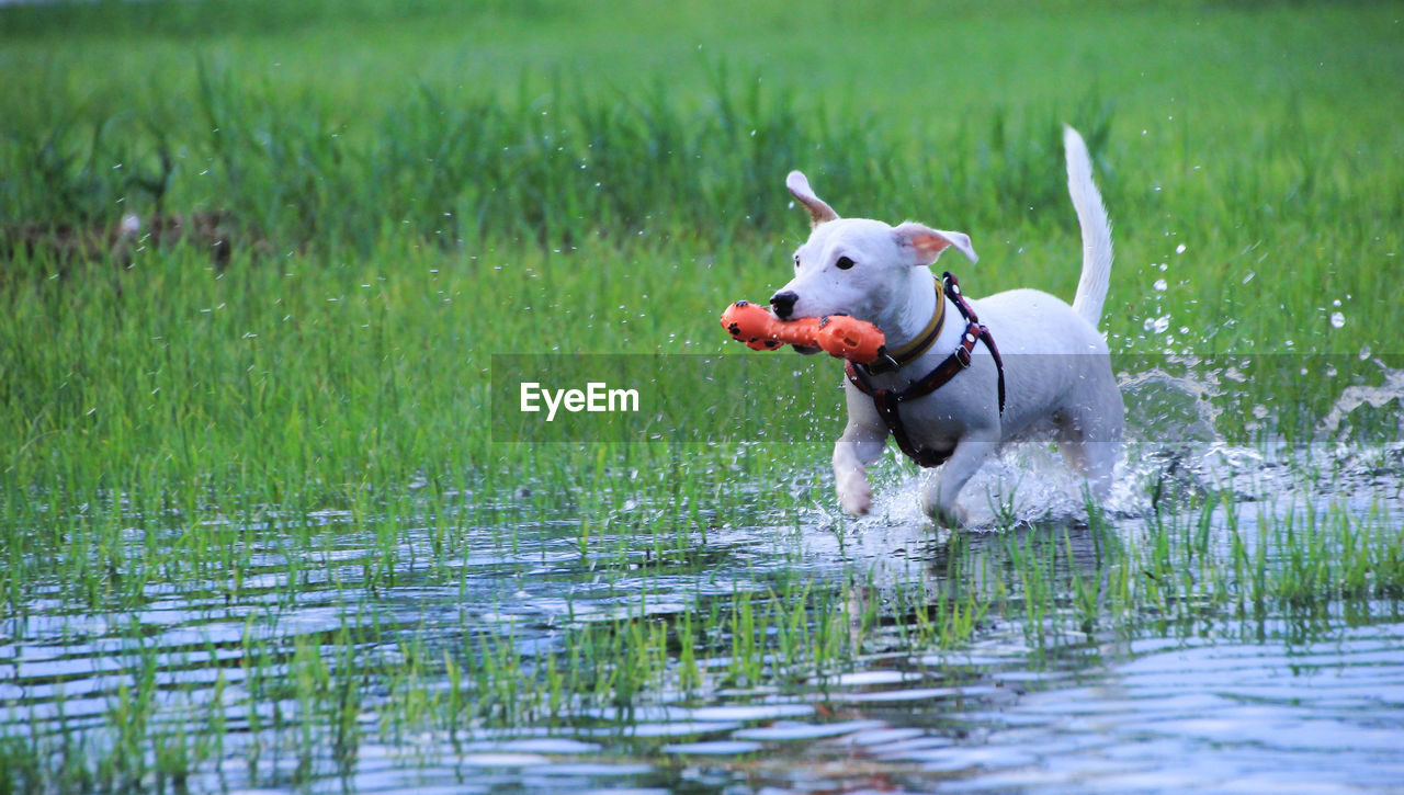 domestic, animal themes, pets, one animal, domestic animals, animal, mammal, dog, canine, vertebrate, plant, grass, water, running, day, nature, no people, pet collar, waterfront, stick - plant part