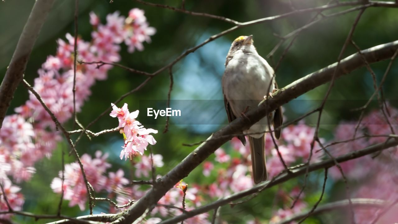nature, flower, bird, no people, growth, one animal, beauty in nature, day, animal themes, branch, pink color, animals in the wild, outdoors, perching, tree, fragility, plant, animal wildlife, close-up, freshness, flower head