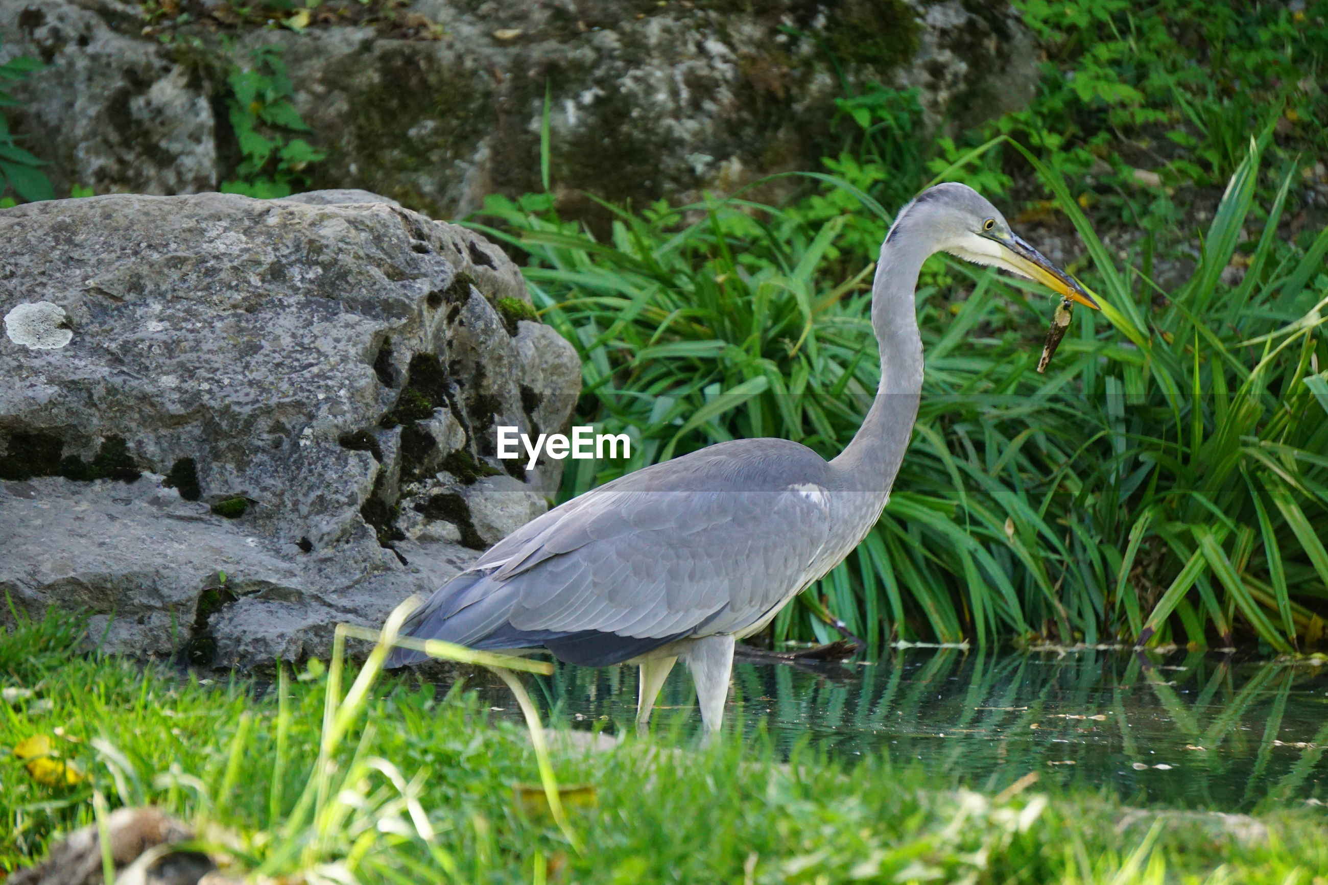 Side view of gray heron in lake
