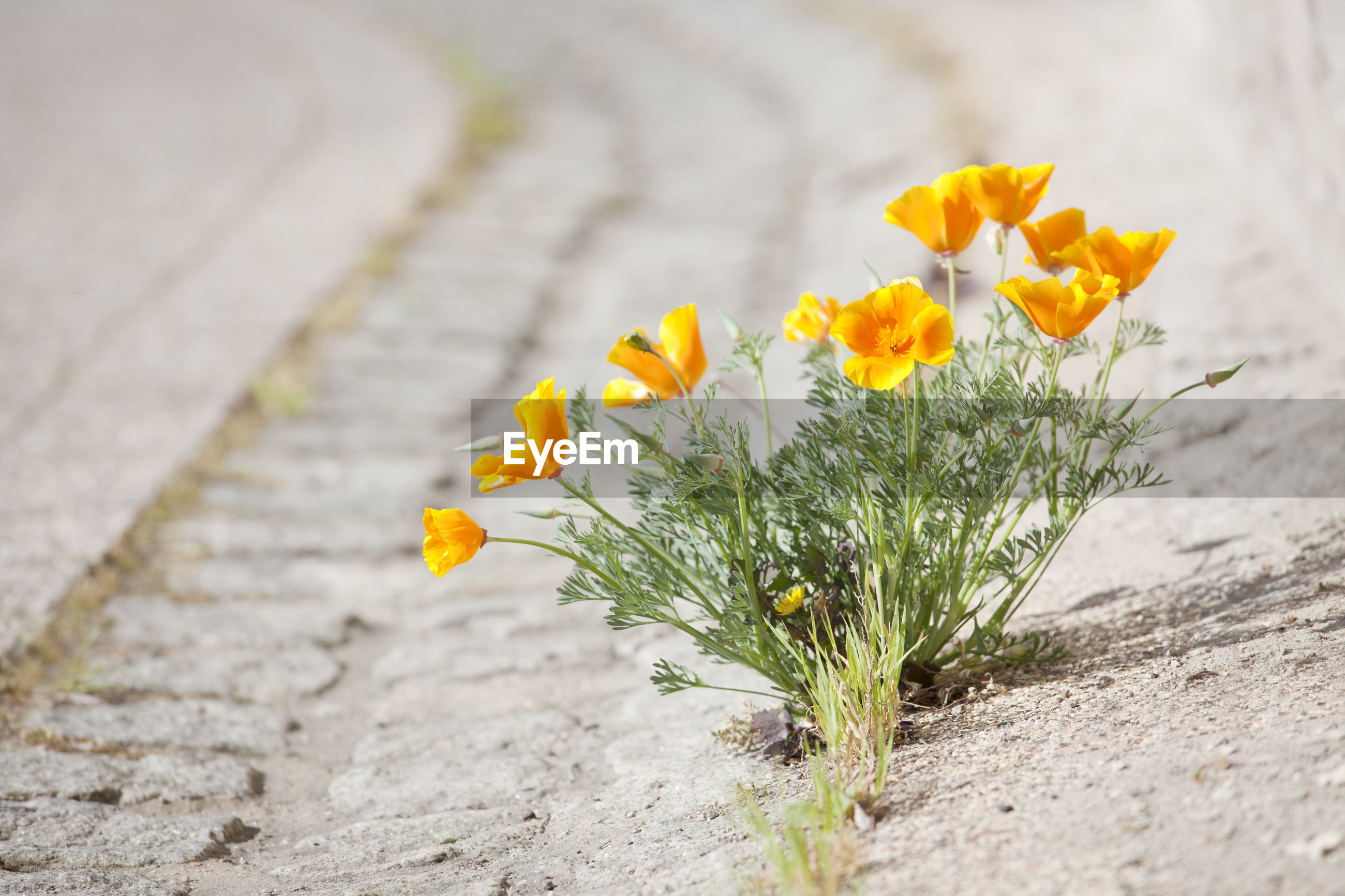 CLOSE-UP OF YELLOW FLOWERS ON FOOTPATH