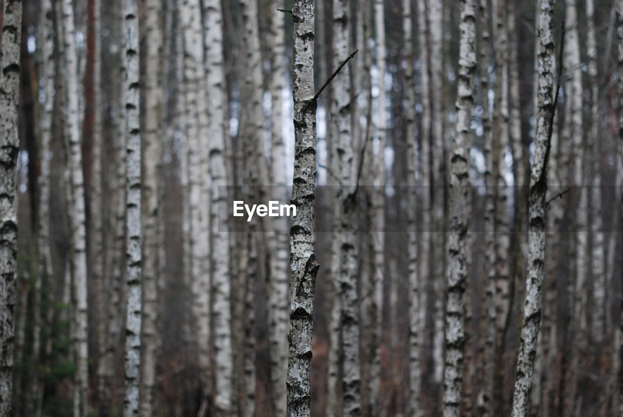 full frame, textured, close-up, no people, backgrounds, pattern, tree trunk, tree, trunk, wood - material, day, plant, winter, outdoors, nature, selective focus, cold temperature, focus on foreground, beauty in nature