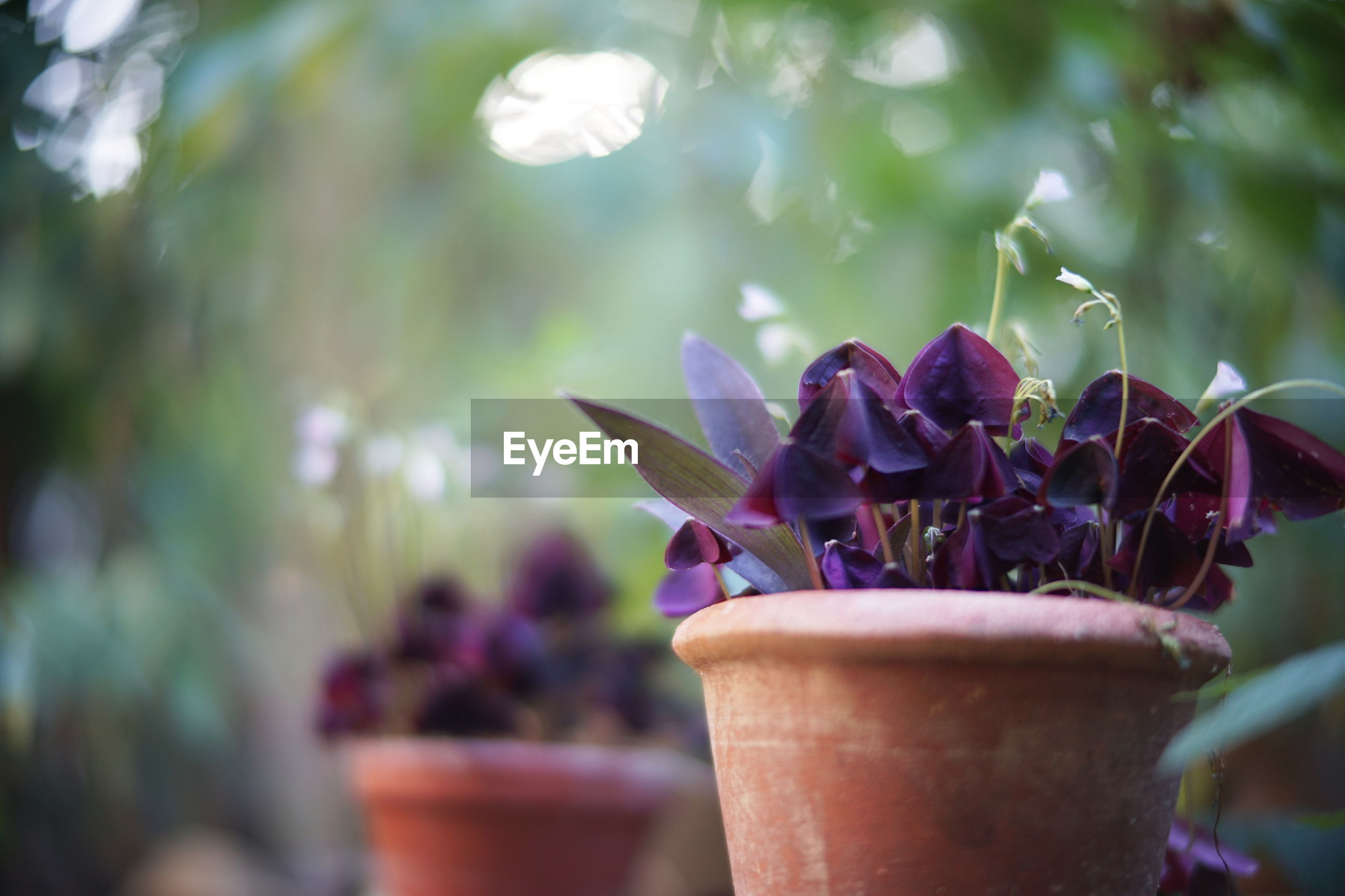 CLOSE-UP OF PURPLE FLOWERING PLANT ON POTTED PLANTS