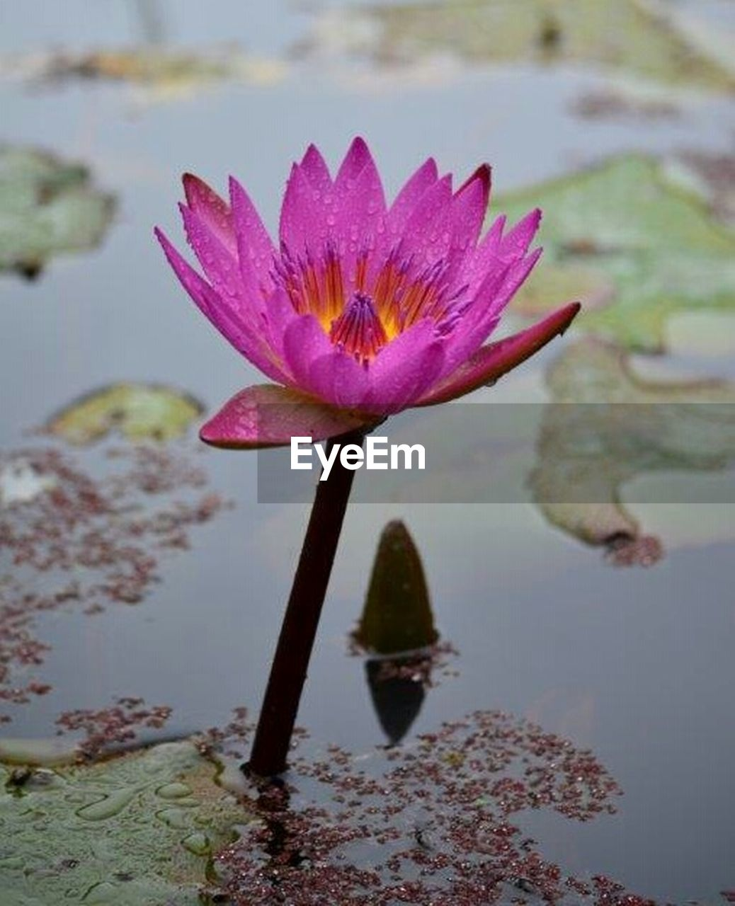 pond, water lily, flower, no people, floating on water, leaf, nature, water, lotus water lily, outdoors, day, plant, flower head, close-up, beauty in nature, fragility, freshness