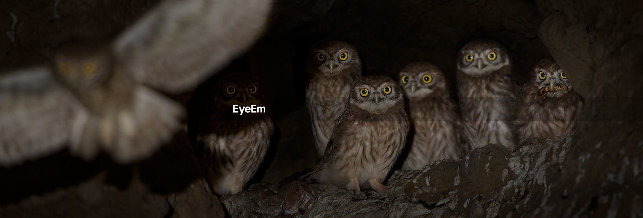 animal themes, no people, bird, animal wildlife, animals in the wild, nature, day, mammal, outdoors, owl, close-up