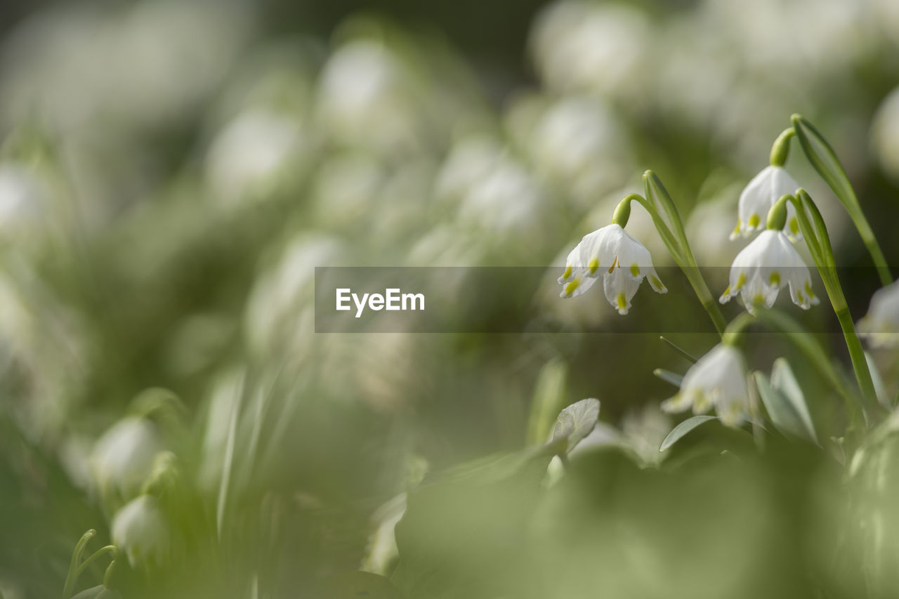 plant, beauty in nature, flower, flowering plant, vulnerability, growth, freshness, fragility, selective focus, close-up, green color, petal, nature, no people, white color, day, flower head, inflorescence, outdoors, plant part