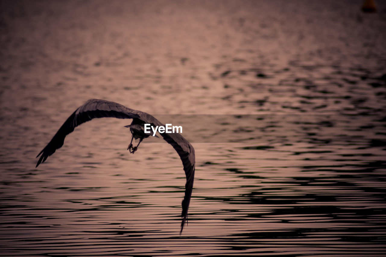 water, animal, animals in the wild, animal themes, vertebrate, animal wildlife, sunset, bird, one animal, flying, nature, waterfront, no people, spread wings, beauty in nature, lake, outdoors, focus on foreground, tranquility