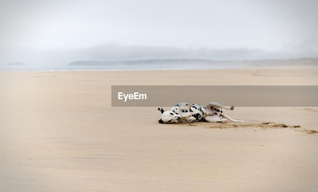Playful dog lying at beach against sky