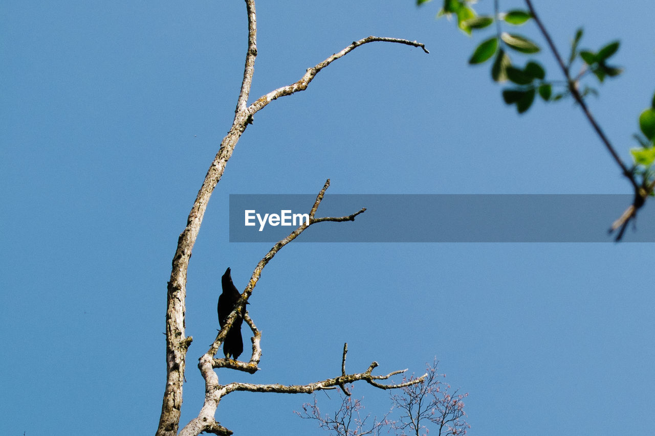 clear sky, blue, low angle view, branch, day, outdoors, tree, nature, bare tree, beauty in nature, full length, no people, sky