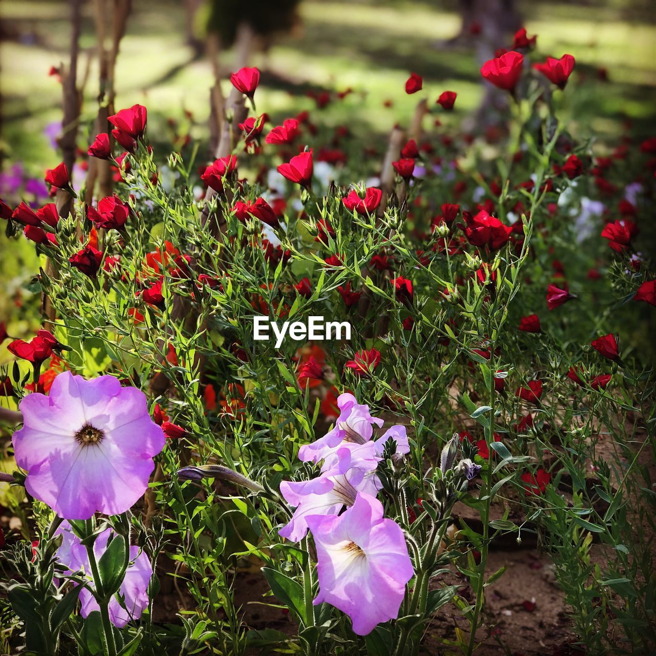 flower, growth, petal, nature, beauty in nature, purple, plant, red, no people, freshness, blooming, fragility, outdoors, flower head, day, grass, close-up, petunia