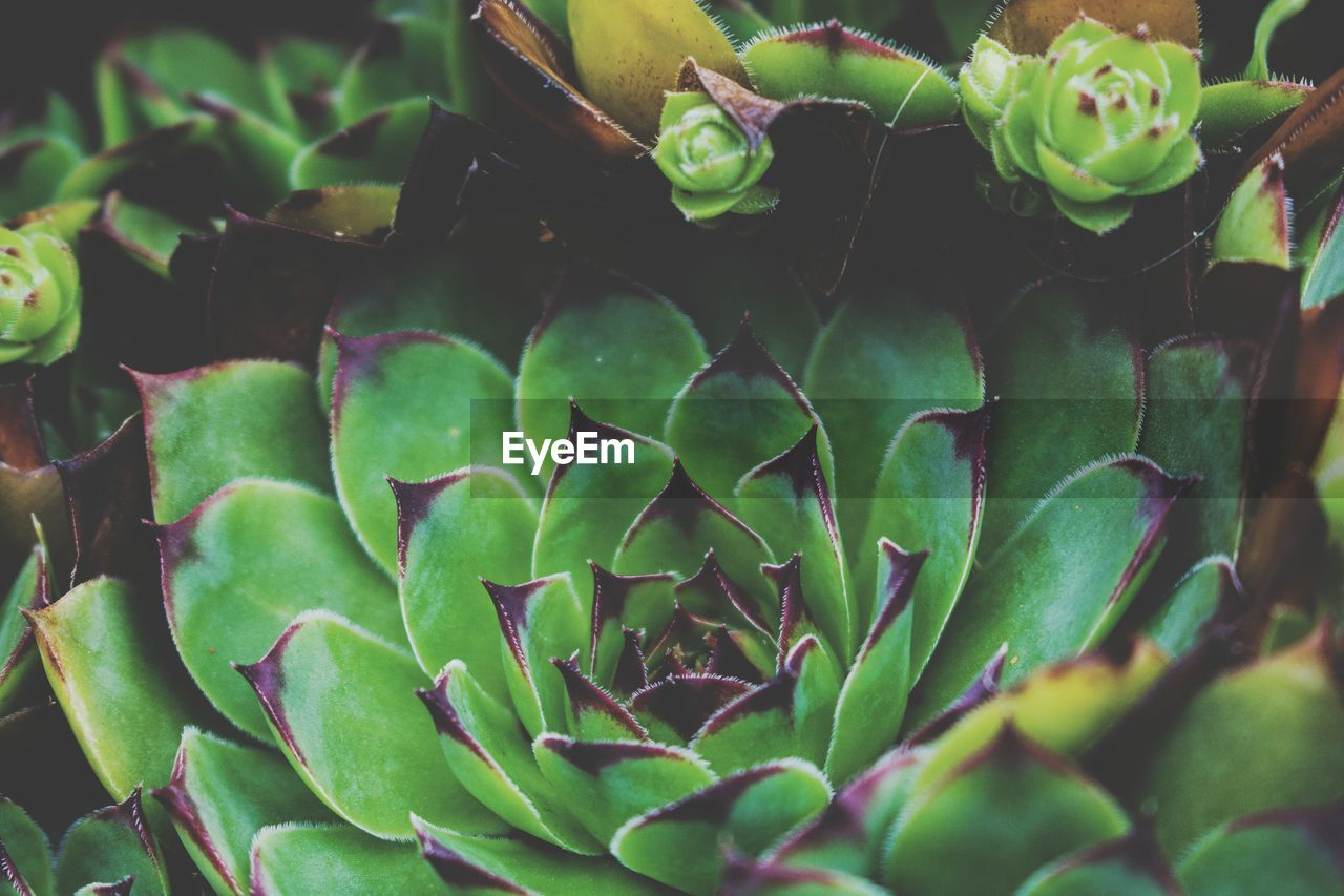 growth, plant, green color, succulent plant, beauty in nature, close-up, leaf, plant part, no people, nature, day, selective focus, full frame, freshness, cactus, natural pattern, flower, outdoors, backgrounds, high angle view, flower head, spiky