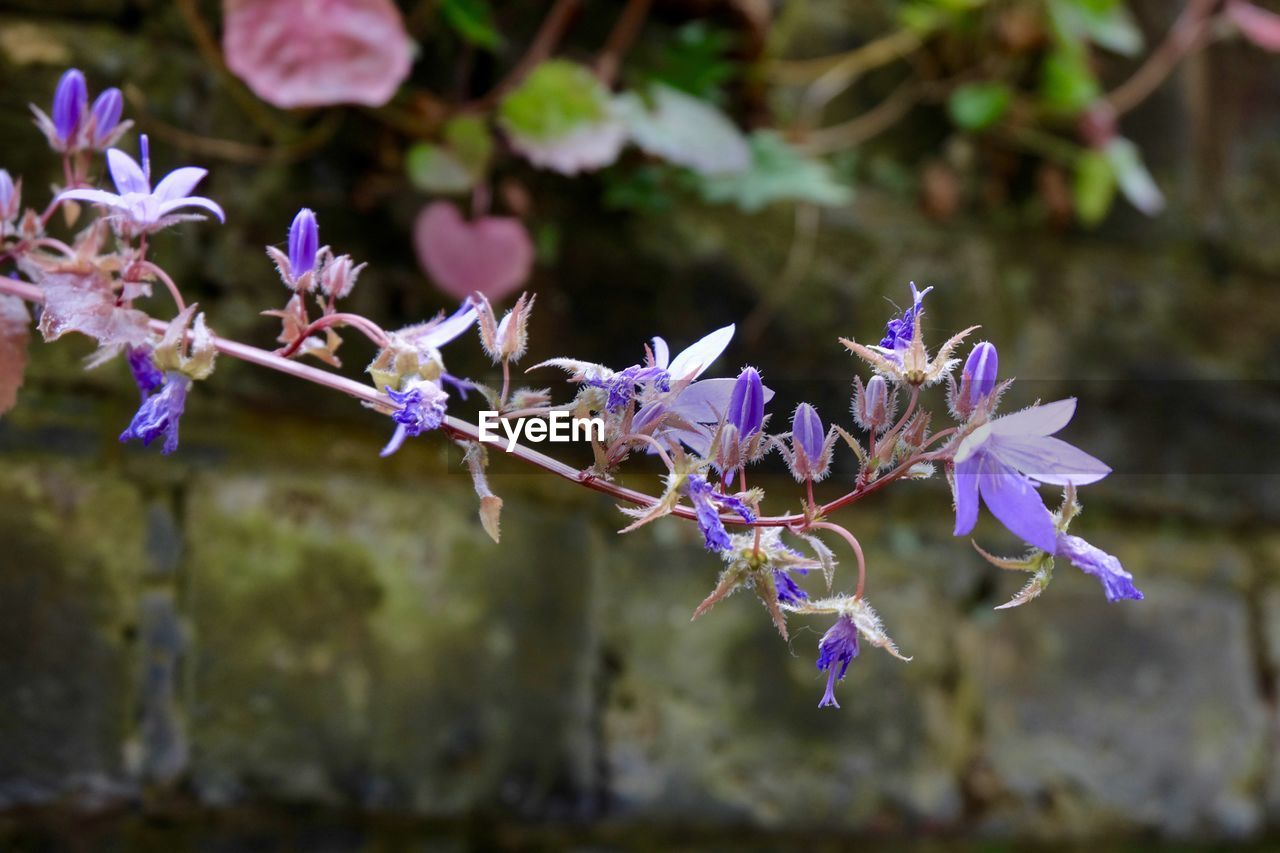 flower, fragility, flowering plant, plant, vulnerability, beauty in nature, growth, purple, freshness, close-up, petal, day, selective focus, nature, no people, focus on foreground, flower head, botany, outdoors, inflorescence, lavender