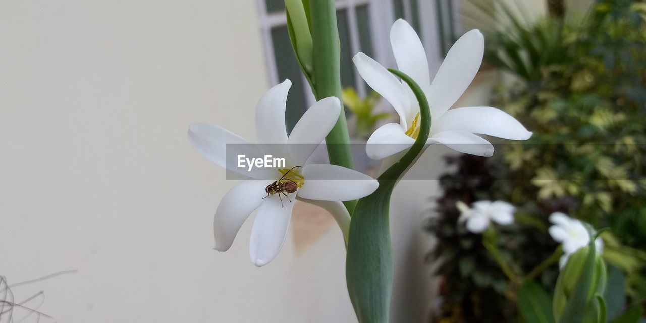 flowering plant, plant, flower, vulnerability, fragility, beauty in nature, freshness, petal, white color, growth, close-up, flower head, inflorescence, focus on foreground, nature, no people, day, botany, outdoors, pollen